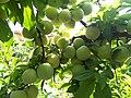 Fruit in Galeskola.jpg