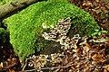 Fungus, Crawfordsburn Glen (8) - geograph.org.uk - 904628.jpg