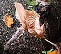 Fungus Crawfordsburn Glen (33) - geograph.org.uk - 1544675.jpg