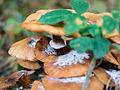 Fungus with fungus on top (10493613694).jpg