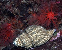 Fusitriton oregonensis 3.jpg