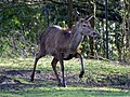GOC Richmond 077 Red deer (Cervus elaphus) (14456004849).jpg