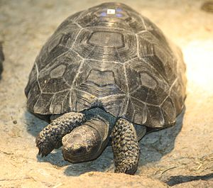 English: Galapagos Tortoise Geochelone nigra m...