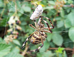A garden orb weaver eating a bee