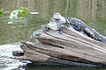 Gators basking on a log.jpg