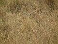 Gazella thomsonii, Tanzania - 20100808.jpg
