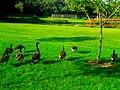 Geese in Vilas Park - panoramio (2).jpg