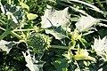Gemeiner Stechapfel Datura stramonium 4865.jpg
