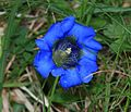 Gentiana sp. - Flickr - S. Rae (1).jpg