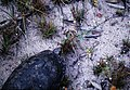 Geochelone carbonaria - Jodensavanne, Suriname.jpg