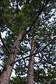 Georgia Pinus elliottii trunks.jpg