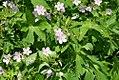 Geranium maculatum 12zz.jpg