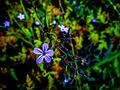 Geranium robertianum, Ruprechtskraut oder Stinkender Storchenschnabel (9246987064).jpg