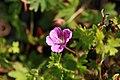 Geranium sanguineum Kahn 1zz.jpg