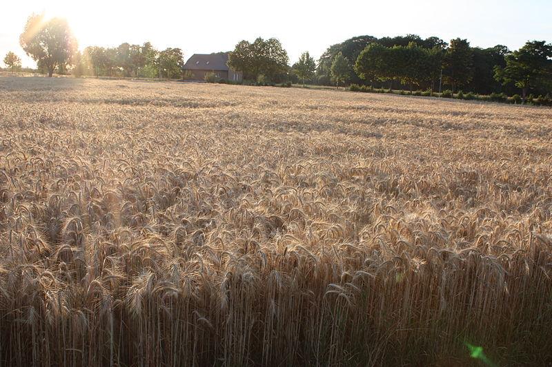 Datei:Getreide IMG 1573.JPG