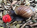Giant African snail (Achatina fulica) feeding on a Surinam cherry (Eugenia uniflora) (16741946188).jpg