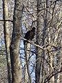 Gillis Falls Park turkey vulture 01.JPG