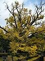 Ginkgo Trees Oguni Kumamoto01.jpg