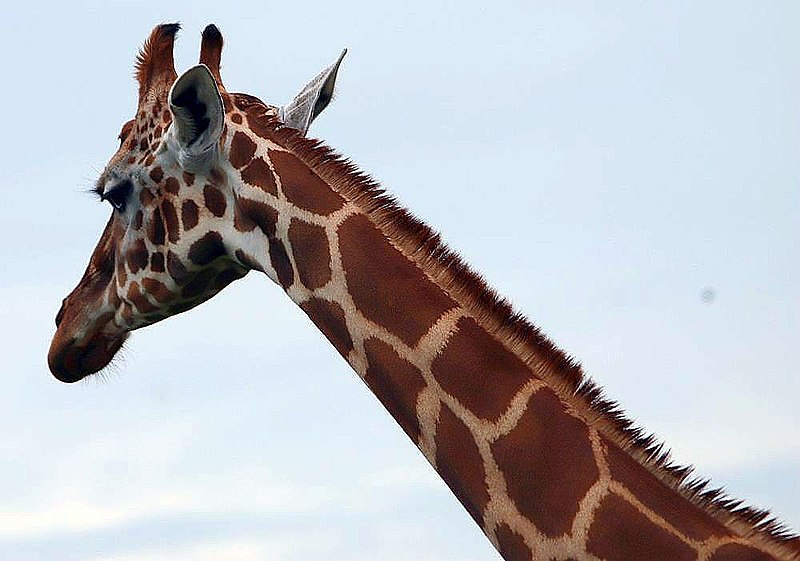 800px-Giraffa_camelopardalis_14zz.jpg