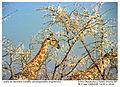 Giraffa camelopardalis angolensis (3) 19990804 JoRoRo.jpg