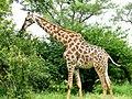 Giraffe (Giraffa camelopardalis) browsing ... (51132291800).jpg