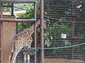 Giraffe in Zoo Negara Malaysia (17).jpg