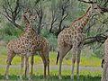 Giraffes (Giraffa camelopardalis) (6896276330).jpg