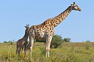 Mother South African giraffe with calf. It is mostly the females that raise young. Giraffes (Giraffa camelopardalis) female and young ... (31643500553).jpg