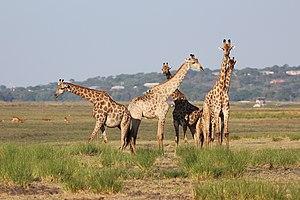 Giraffes in Chobe National Park 03.jpg