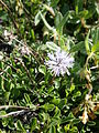 Globularia cordifolia 02.jpg
