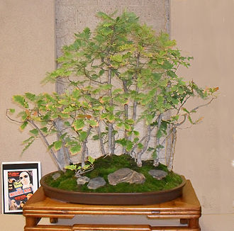 "Gloria Stuart - Bonsai called ""French Black Oak Forest"" was created by Gloria Stuart in 1982 after returning from France where she gathered the acorns in the royal forest at Fontainebleau."