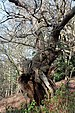 Gnarled oak, Virginia Water.jpg