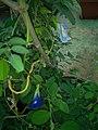Gokarna flower 3.jpg