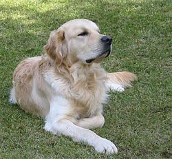 Golden-Retriever-'Timo'.jpg