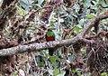 Golden-headed Quetzal (Pharomachrus auriceps) (9496935377).jpg