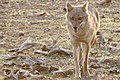 Golden jackal (46628775585).jpg