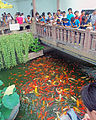 Goldfish feeding frenzy in pond at Yuyuan Gardens.jpg