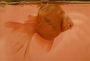 Goldfish with swim bladder disease