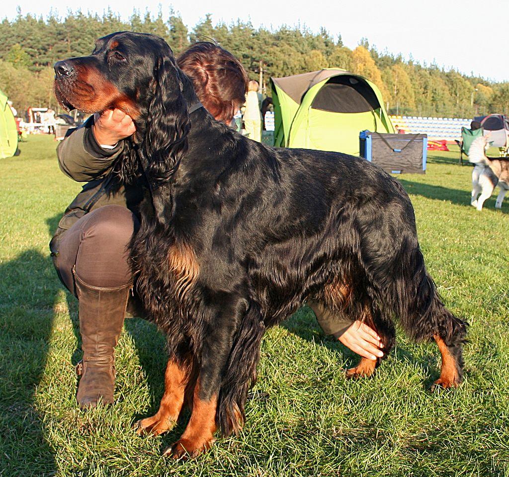 El Kennel Club le otorgó el apelativo 'Gordon' al Setter escocés en 1924