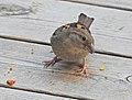 Gråsparv House Sparrow (19730184443).jpg