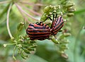 Graphosoma lineatum (RpM).JPG