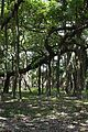 Great Banyan Tree - Indian Botanic Garden - Howrah 2012-09-20 0057.JPG