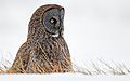 Great Grey Owl photographed in Minnesota, 2005.jpg