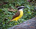 Great Kiskadee (38034206045).jpg