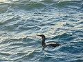 Great cormorant In phaleron delta,Greece.jpg