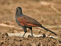 Greater Coucal (Centropus sinensis) - Immature at Hodal Iws IMG 1208.jpg