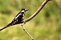 Greater Spotted Woodpecker - RSPB Sandy (11777572664).jpg