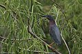 Green Heron Smith Oaks High Island TX 2018-03-28 12-55-59 (41082357071).jpg