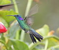 Green Violetear (Colibri thalassinus) (5771930755).jpg