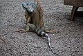Green iguana near the restaurant (24284119489).jpg